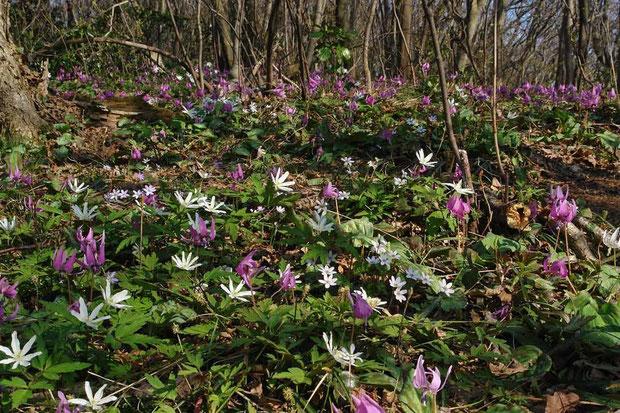 オオミスミソウ、キクザキイチゲ、カタクリ、ミチノクエンゴサク... 右隅に白花のカタクリも。