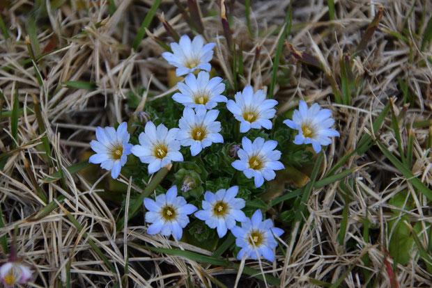 コケリンドウ  コケちゃんがこんなに集まって咲いているのは初めて見ることができた