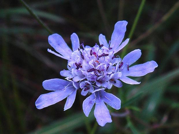 ミカワマツムシソウの花はマツムシソウと比べてずっと小さい(直径1〜2cm)。 舌状花の数も少ないです。
