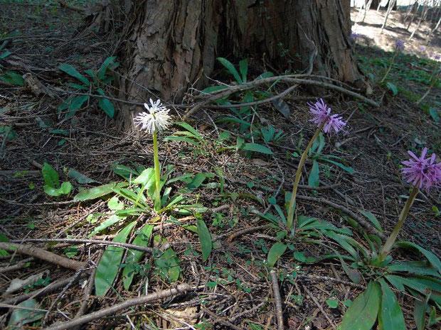 普通のショウジョウバカマとショウジョウバカマの白花(シロバナショウジョウバカマとは別種)