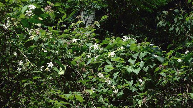 他の木に絡みつき、蔓を伸ばし、多数の花を咲かせていた