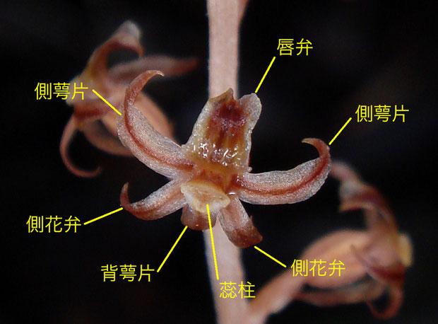 ヒメムヨウランの花の構造(背萼片、側花弁、側萼片、唇弁、蕊柱) 2012..07.08 長野県
