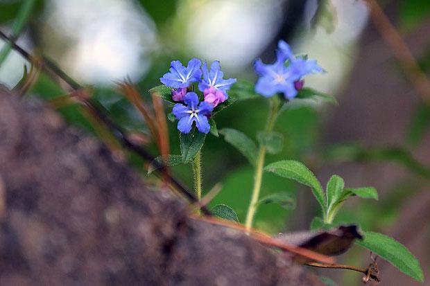 ホタルカズラ (蛍葛) ムラサキ科 ムラサキ属  10年近く前と同じ場所に咲いていてくれた