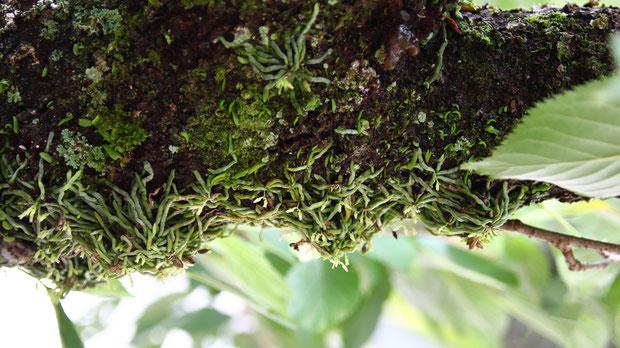 クモランはこの環境がよほど適しているのか、幾重にも積み重なって小山のようになっていた