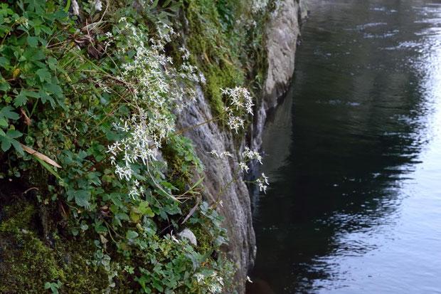 垂直に近く、絶えず濡れているような岩場にいました。 低い所で 川面からは2mほどの高さ