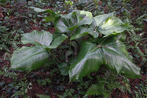 ムサシアブミ 大小の6株が固まっていた 葉が大きいいので壮観です