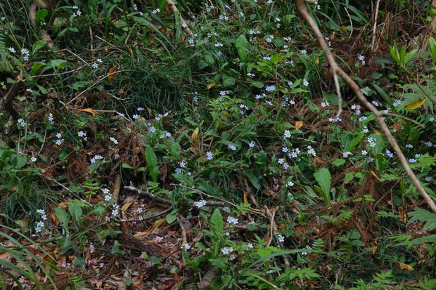 ヤマルリソウ (山瑠璃草) ムラサキ科  たくさん咲いていました