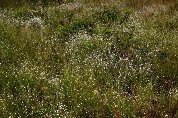 シラタマホシクサ (白玉星草) ホシクサ科 ホシクサ属  星空のよう 見事な群生でした