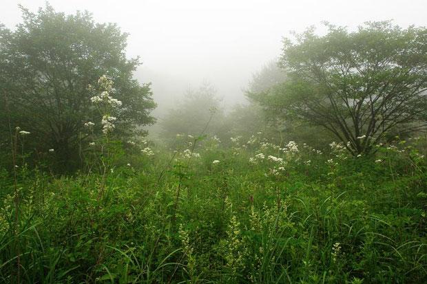 霧に包まれるゆうすげの道