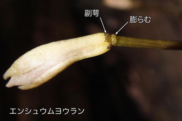 #8 エンシュウムヨウランは、副萼の下が膨れる