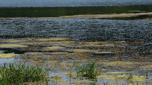 イヌタヌキモが、水面のあちこちに群生していた。 スゴイ数です!