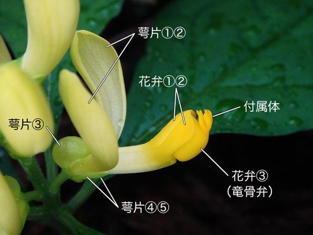 カキノハグサの花の構造(花弁、萼片、竜骨弁、付属体)