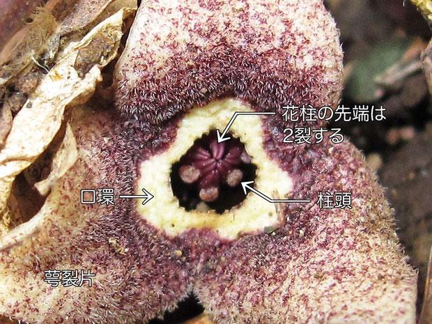カンアオイの花の正面  2011.03.20 狭山丘陵