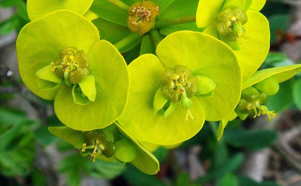 ハギクソウの花の構造−3 腺体の形状の変化