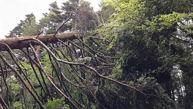 電線に倒れ込み、電柱も傾いていた。 危険なので役場に電話連絡。 やはり事態を把握していなかった