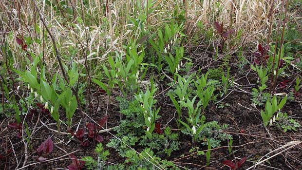 ヒメイズイ (姫委蕤) ユリ科 アマドコロ属  とてもたくさん咲いていた。