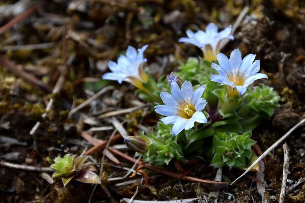 コケリンドウ 春の優しい陽光の下、コケちゃんが元気よく開花していた