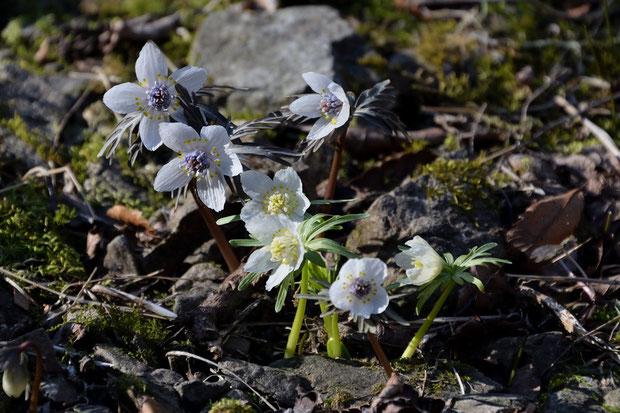 普通品種の中に咲くシロバナセツブンソウ。 雄しべと雌しべが白く、茎と葉は淡緑色