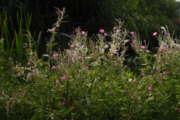 オオアカバナ (大赤花) アカバナ科 アカバナ属  長野県で発見されたのはつい最近
