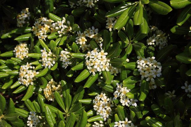 トベラ (扉) トベラ科 トベラ属  葉の縁が裏側に反曲するのは葉の表面の放熱のためと考えられています