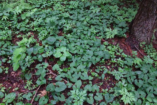 トウゴクサイシンが地面を覆い尽くす。 密生しすぎて、踏んでしまいそうなので近づけない場所も。
