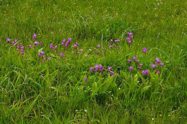 シラン (紫蘭) ラン科  シラン属