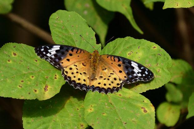 ツマグロヒョウモン (褄黒豹紋) タテハチョウ科 ツマグロヒョウモン属 のメス 前翅の先端部表面が黒い