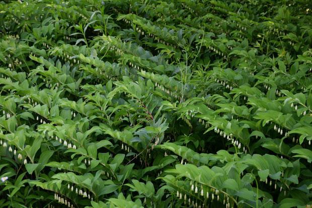 アマドコロが支配する領域では、他の植物は成長が難しいようだ。 ここまで整然と生えるとなんだか恐い