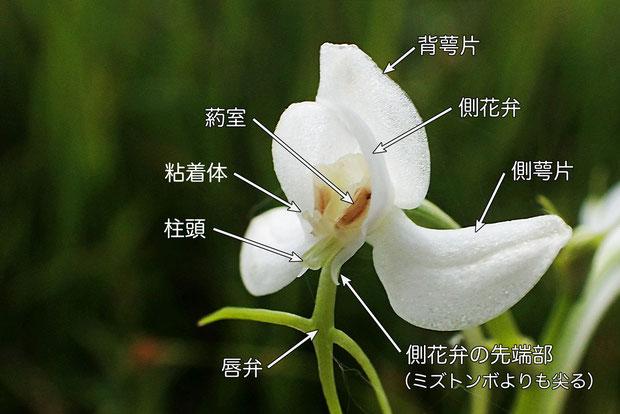オオミズトンボの花の各部の名称