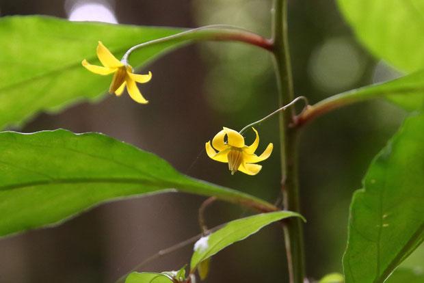 モロコシソウの葉柄の基部は赤味を帯びていました。 花柄は上部の葉柄の上から出ます
