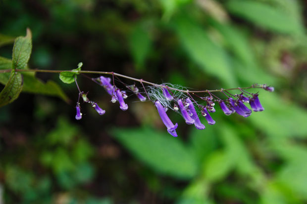 セキヤノアキチョウジは花柄が長く・萼裂片の先端が細く尖る点が、アキチョウジとの違い  他の植物の綿毛が絡んでいた