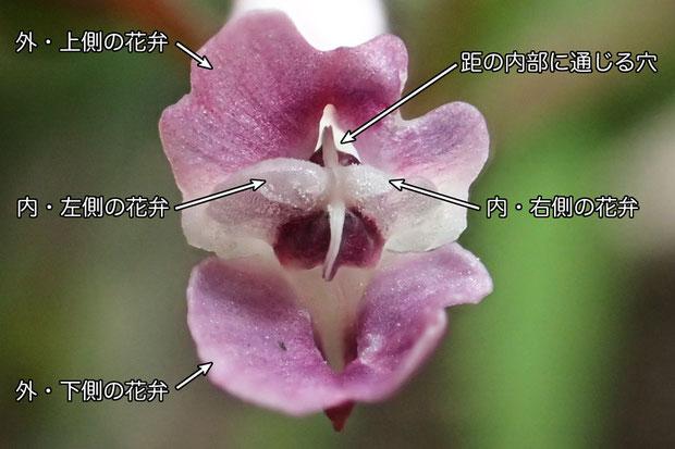 #11 ジロボウエンゴサクの花の正面    2016.03.21 茨城県 西南部 alt=13m