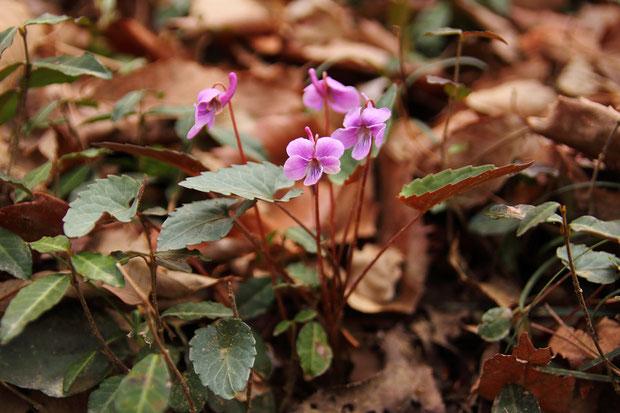 シハイスミレ (紫背菫) スミレ科 スミレ属 ミヤマスミレ類  東日本ではなかなか出逢えない