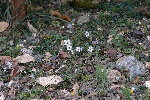 セツブンソウは疎らに咲いていました  2008.02.24 星野町