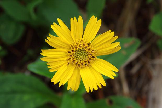 筒状花の筒部にわずかに軟毛があるのがエゾウサギギクの特徴だが...  花を分解しないと見えないので確認はできなかった