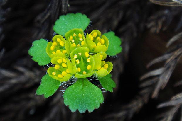 オオコガネネコノメの花  萼片は角ばり、雄しべは萼片より突出しません