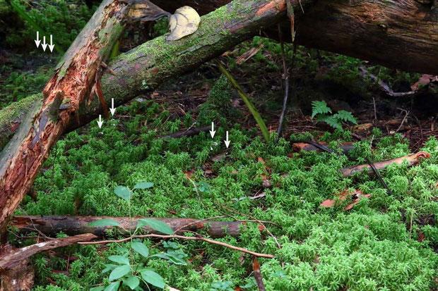 ヤクシマヒメアリドオシラン コケの林の中にも点々と咲いていた(小さくて見えないので矢印をつけました)