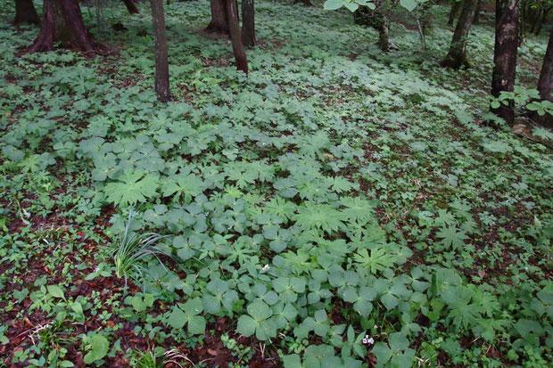 薄暗い林床をエンレイソウやヤブレガサなどが覆い尽くしていた