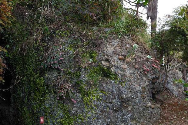民家脇のイワレンゲ(葉のみ...右の方)と同じベンケイソウ科のミセバヤ(岩にへばりつく赤っぽい花)