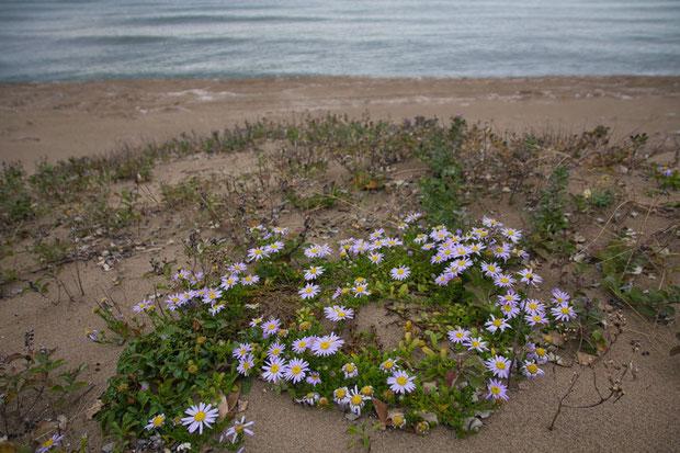 ハマベノギクは、海岸より一段高い場所の砂浜に咲いていました。 地面を這うように茎を伸ばします。