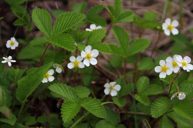 シロバナノヘビイチゴ (白花蛇苺) バラ科 オランダイチゴ属  見頃