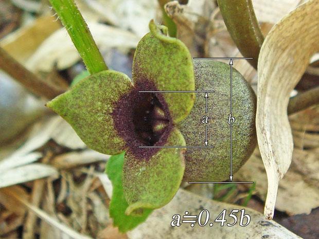 ミクニサイシンの花 緑色タイプ  開口部は萼筒外径の半分以下だった