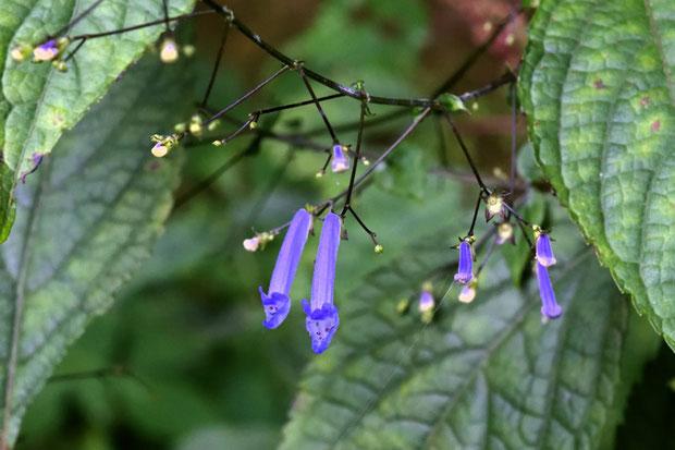 セキヤノアキチョウジ  花はわずかしか残っていなかった 花柄が長いので関屋と判断