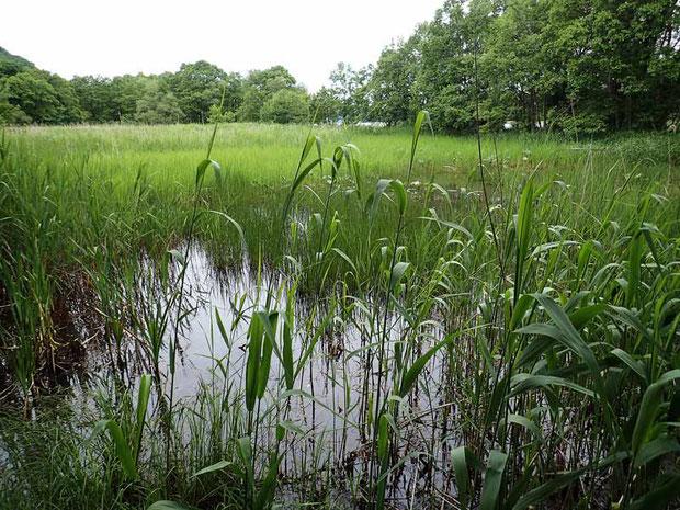 ようやく湿地に到着。 遠くにコウホネが咲いているのが見える。