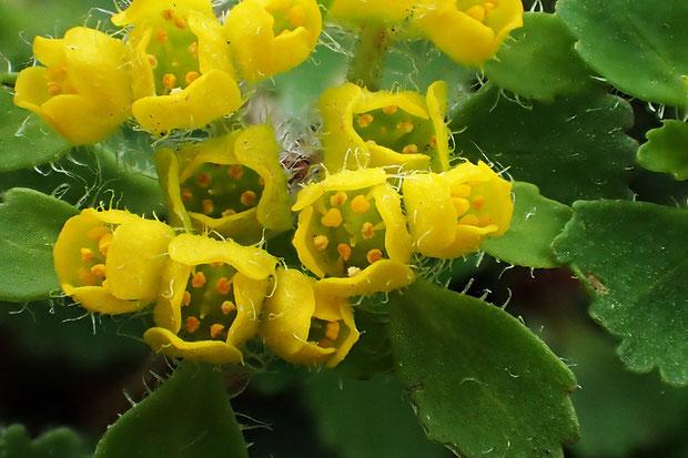 オオコガネネコノメソウに花弁はなく、鮮やかな黄色で立ち上がる部分は萼片。 雄しべは8個で、萼片より短い