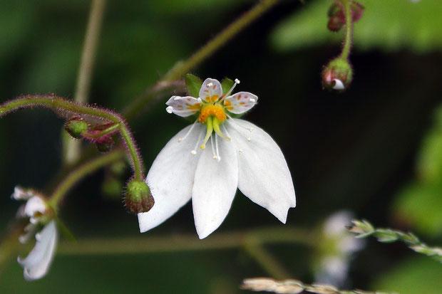 ユキノシタの変わり花 普通の花の3倍大きく、下側の下弁が1個多い。 雄しべも2個多く12個あった
