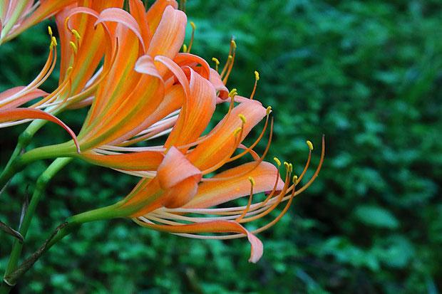 オオキツネノカミソリは6本の雄しべと1本の雌しべが花冠より長く突き出す。 キツネノカミソリは花冠と同じくらいの長さ