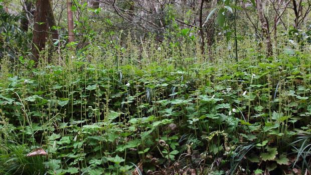 #3 群生するとコチャルメルソウの森のようだ(花期)   2017.04.10 八王子市 alt=240m付近