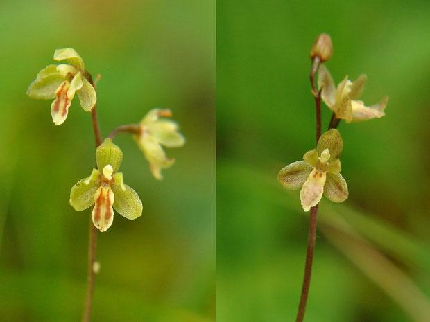 #4 コイチヨウラン 左:薄黄緑色の通常タイプ 右:紅紫色が入る