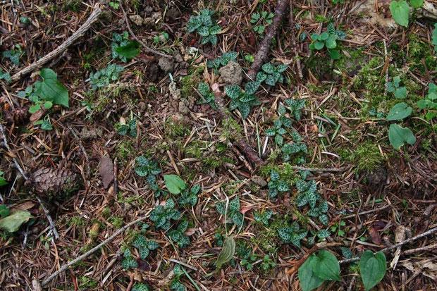 ヒメミヤマウズラの葉
